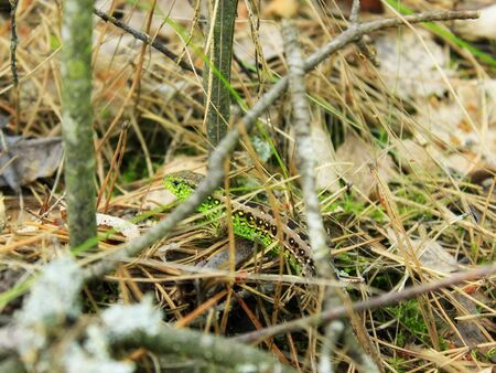 green lizard hides in the grass and leaves