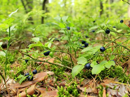 bilberry: bushes of ripe bilberry in the forest