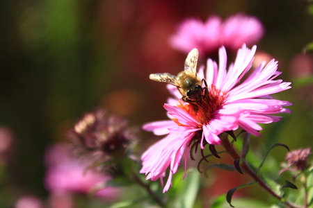 bee sits on the flower of aster and collects nectar