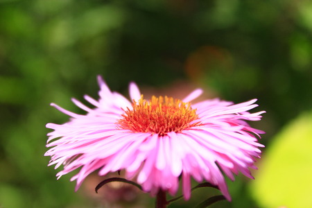 big flower: big flower of beautiful and red aster