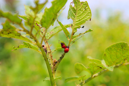 grub: larvas of colorado beetles sitting and on the leaves of a potato Stock Photo
