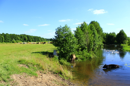 herder: cow goes in the river near the pasture