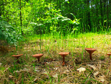 inedible mushrooms of toadstool growing in the row in the forest Stock Photo
