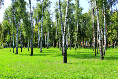 birchwood: beautiful birchwood in the summer in August