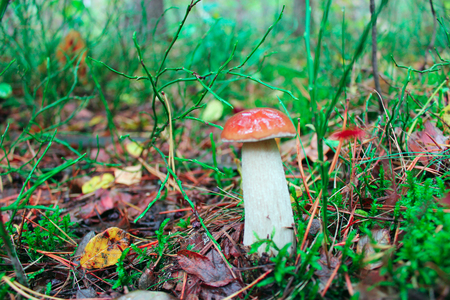cep: beautiful and small cep growing in the forest moss