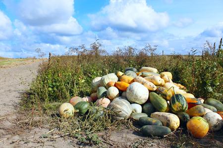 harvest of pumpkins in the kitchen garden