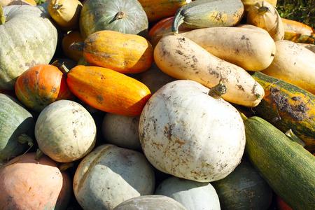 harvest of pumpkins in the kitchen garden Stock Photo