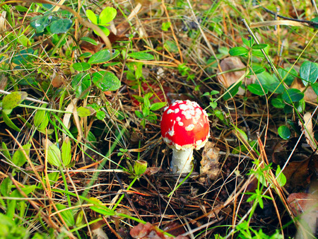 'fly agaric': beautiful big red fly agaric in the forest