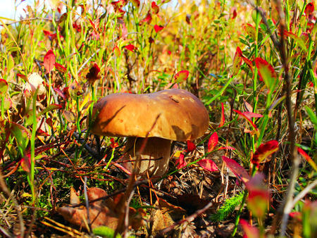 cep: beautiful big cep in the autumn forest Stock Photo