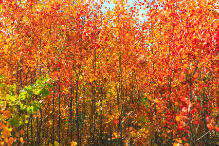 red beautiful leaves of aspens in the autumn in the forest Stock Photo