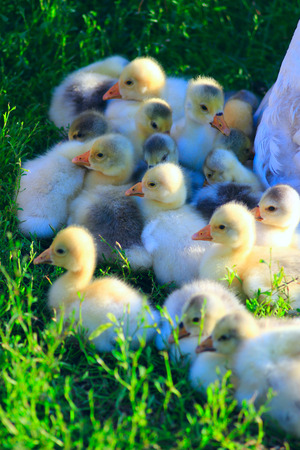 waddling: brood of young goslings on the grass in the village
