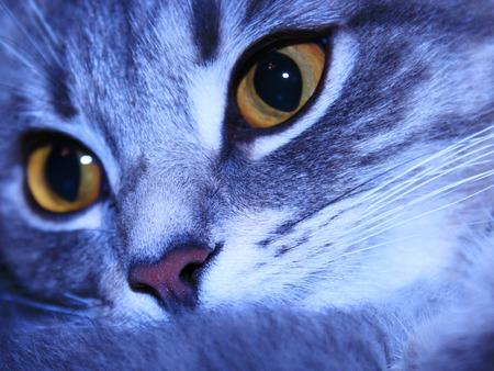 scottish straight: macro of muzzle of cat of Scottish Straight breed