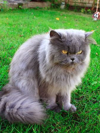unruffled: nice Persian cat sits on the green grass in the garden