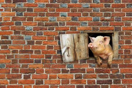 pig looks out from window of shed on the red brick wall