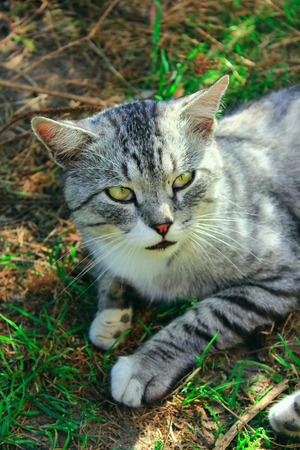 smoky eyes: beautiful cat of Scottish Straight in the rural yard