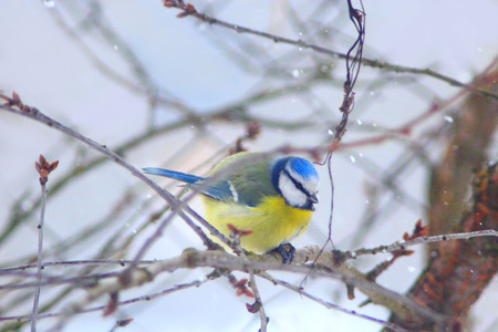 Eurasian blue tit sits on the branch in winter