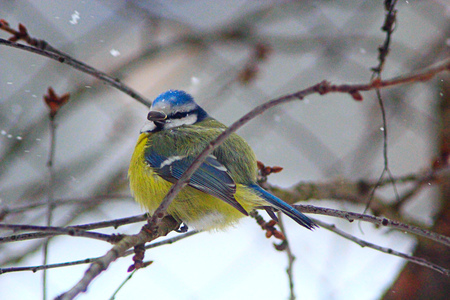tomtit: Eurasian blue tit sits on the branch in cold winter