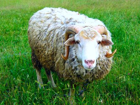 ram standing on the green grass