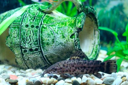 aquarium hobby: Hoplosternum thoracatum in beautiful aquarium decorated with broken amphora