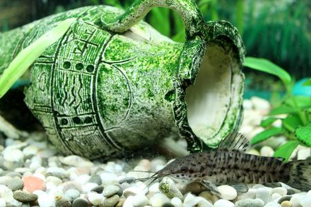 Hoplosternum thoracatum in beautiful aquarium decorated with broken amphora