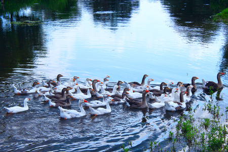 flight of young white geese swim on the river