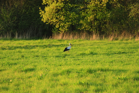 stork goes in the meadow with green grass. White stork looks for the frogs in the grass in the ear