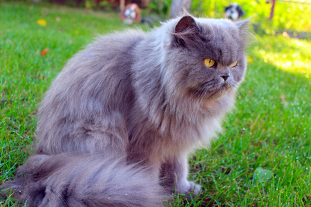 unruffled: Big Persian cat in the green grass