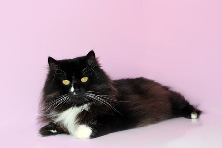 black cat lays on the pink tender background