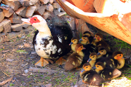 waddling: Muscovy duck hen with amusing ducklings in the poultry Stock Photo