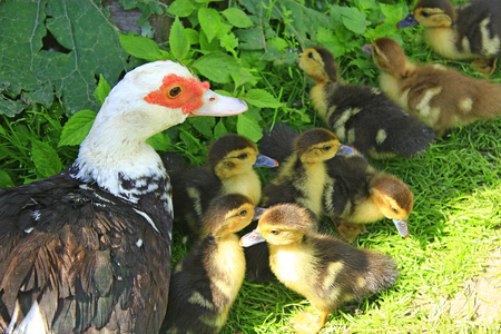 Muscovy duck hen with amusing ducklings in the poultry Stock Photo
