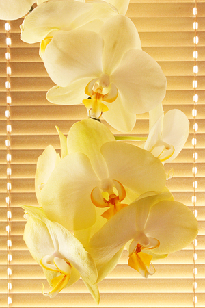 branch of blooming tender orchid on the background of jalousie. Comfort that create in the house flowers