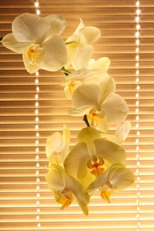 branch of blooming tender orchid