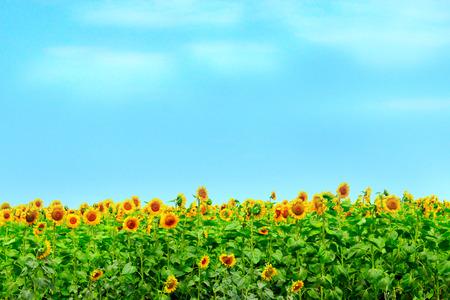 sunflowers grow on the farm field Stock Photo