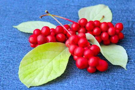 tak van rode rijpe schisandra met bladeren lag op de donkerblauwe achtergrond