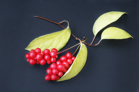 berries of schizandra with leaves on the black isolated