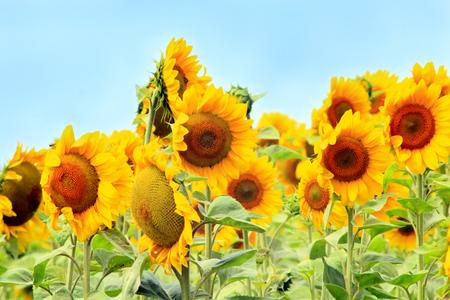 beautiful yellow sunflowers growing on the farm field