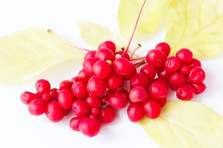 rode rijpe schisandra op het wit Stockfoto
