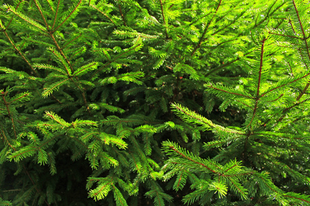 evergreen spruce branches growing in the forest