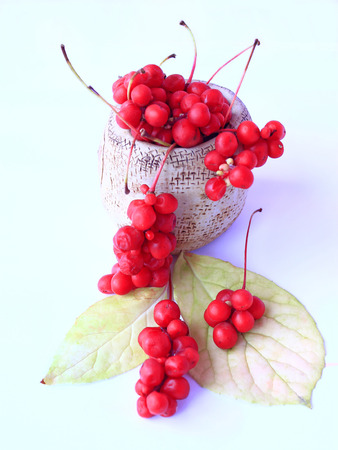 schisandra berries and leaves isolated on the white. crop of red fruits Reklamní fotografie
