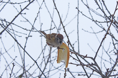 impudent sparrow sits on the branch and eats the bread