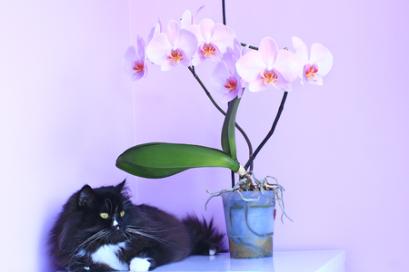 Cat and pink orchids on background. Pet as detail of interior. Black domestic pet. Decorative blossoming orchid Stock Photo