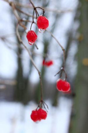 Frozen water droplets hanging from berries of viburnum. Snowball tree, guelder-rose, viburnum and space for text. Unharvested viburnum. Winter despondency Stock Photo