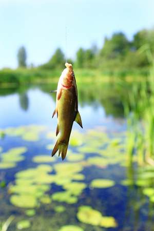 Small tench caught on fishing-rod. Fishing. Fish caught on rod. Fish on hook Stock Photo