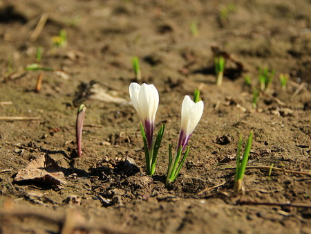 white blossoming crocuses growing on soil in spring. Pair of white spring flowers