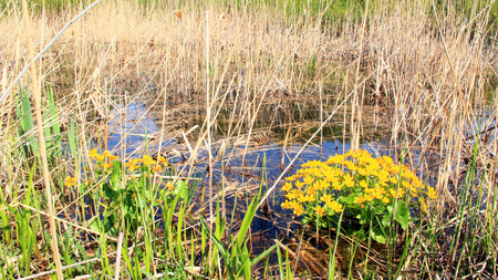 Caltha palustris growing in swamp. Spring flowers. Marsh Marigold flowers. Yellow flowers of Marsh Marigold. Flowering gold color plants in early spring by river during flooding