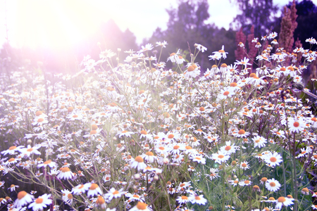 White camomiles growing in field in sunny rays. Vintage photo of beautiful chamomile flowers. Camomile flowers. Flowers in sunny rays. Field chamomiles on summer sunny day. Flowers in sepia
