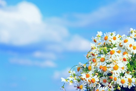 White chamomiles in bouquet on blue sky background. Beautiful bouquet with white chamomiles. Chamomile flowers. White field flowers in summer close-up. Place for text. Copyspace