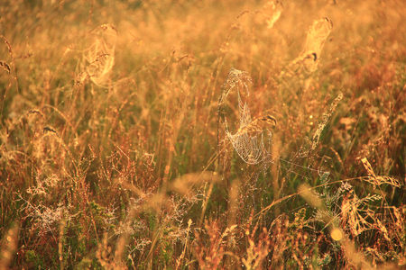 Summer landscape with field of grass and cobwebs in sun light at dawn. Summer field at dawn. Droplets of dew on grass at dawn. Summer field in sepia