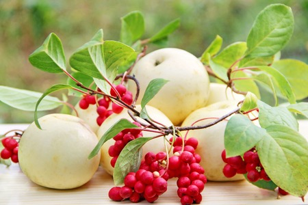 Red schisandra and white apples. Still life with clusters of ripe schizandra and white apples. Harvest with red schisandra chinensis plants with ripe fruits and apples. Schizandra omija of Korea