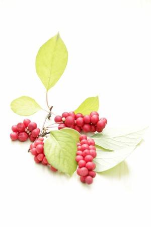 Branches of red schisandra. Clusters of ripe schizandra. Crop of useful plant. Fruits of schizandra chinensis plant on white background. Schizandra omija of Korea
